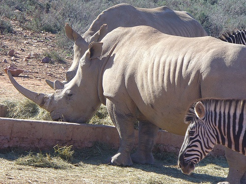 Rhino and Zebra at Aquila Private Game Reserve. Quote & Book:http://www.south-african-hotels.com/