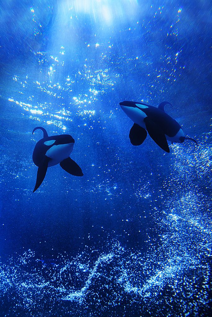 into the deep blue | Michael Zhang. Let Mother Nature dictate their fate, not their captivity for the gains of a corporate giant. Orcas. Killer whale. Largest in the dolphin family. Mammal. Sentient being. Captivity kills. No more captive breeding! Empty the tanks. Pledge not to go to a marine park! Get the facts!