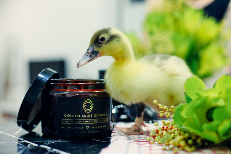 Our new friend.  #candle #candles #soywaxcandles #marble #luxury #gsc #golden #skull #goldenskullcandles #duck #pets #duckling #beatuy #cute #animal #animals