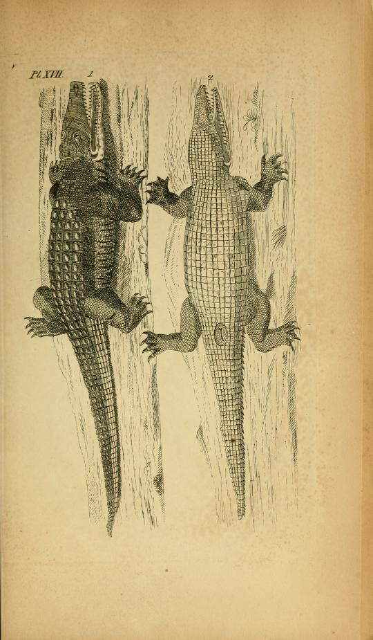 Lacerta crocodilus. Icones amphibiorum Hafniae :C. Steen,1835. Biodiversitylibrary. Biodivlibrary. BHL. Biodiversity Heritage Library