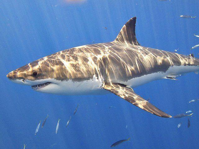 The Notable Demise of Friday Night Lights (i.e. Shark DNA ... |Half Human Half Shark