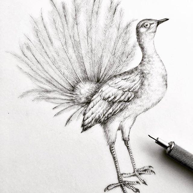 L'oiseau lyre! Dessin pour les contes olfactifs de la @maisonabriza #drawing #graphitedrawing #lyrebird #bird #birddrawing #illustration #illustratrice #realisticdrawing #illustrationforcommission #florencegendreillustration