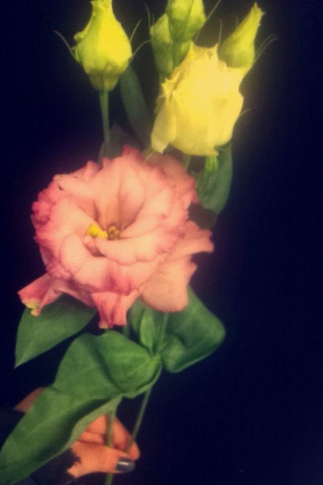 lisantus rosa