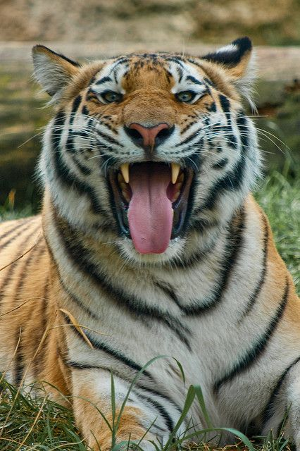 """Tiger:  """"Huh!  Who are you calling a large pussy cat?!""""    (Photo