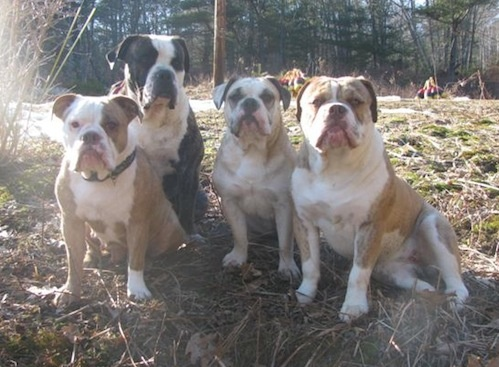 Olde English Bulldogges.  Best dog ever! We love our dog children! (These are not ours, but the picture of the two passed out on this board are).