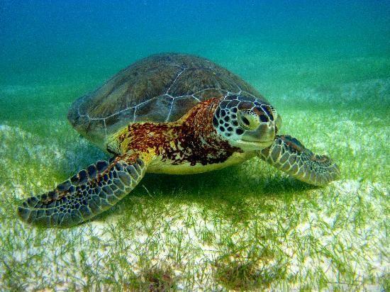 Swimming with sea turtles: Akumal Bay, Mexico