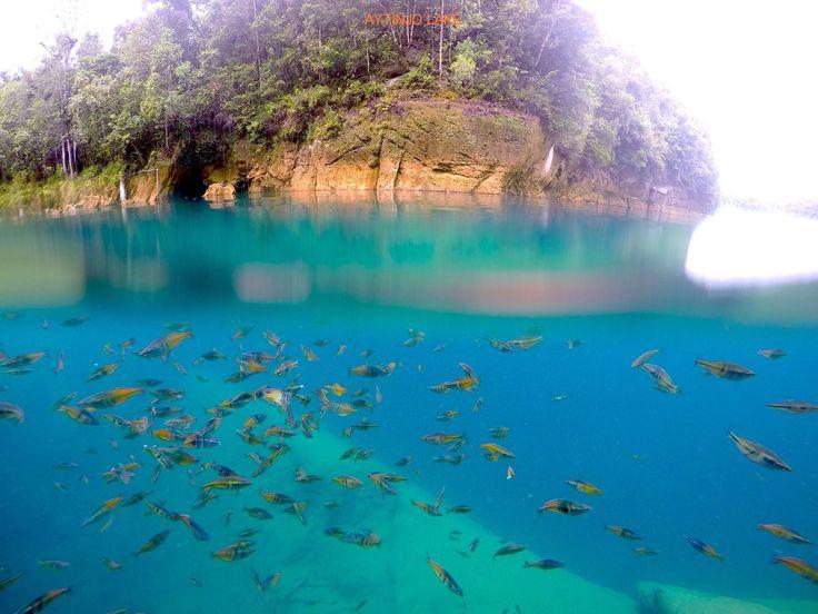 Boesemani Rainbow fishes. Lives in Aytinjo Lake. West Papua. Indonesia.