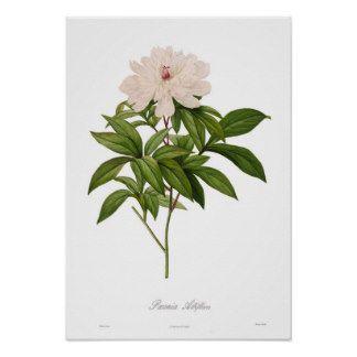 Peonia albiflora poster