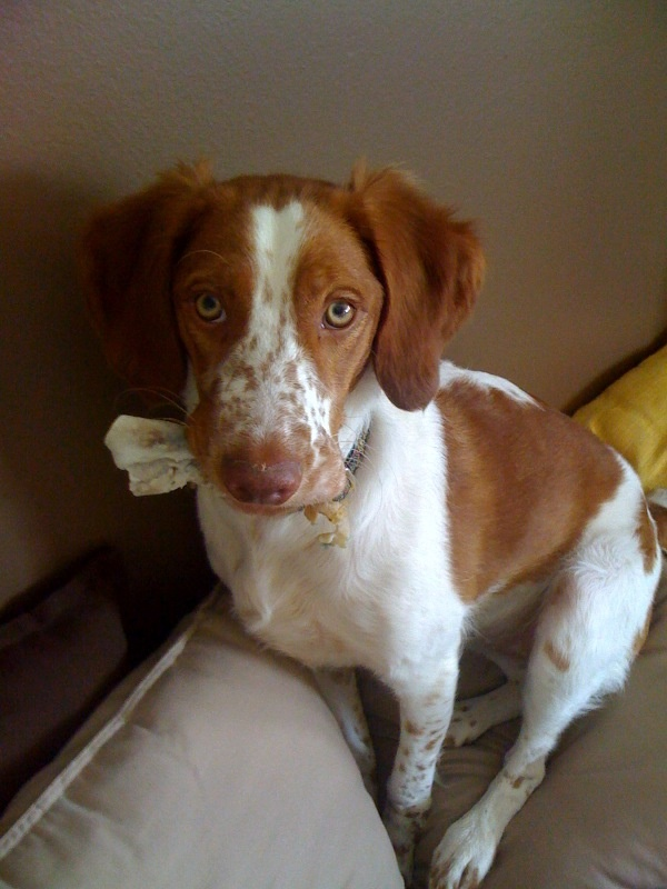 Pictures of Brittany Dog Breed...Who me? I would never steal your napkin!