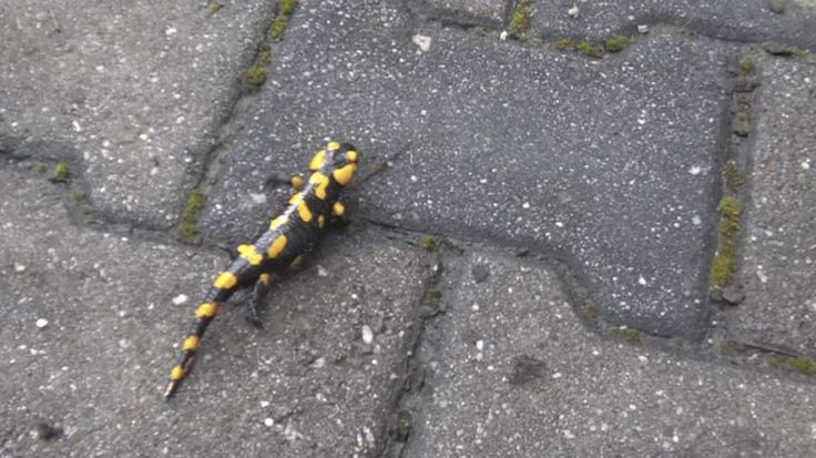 Salamandra przed Zwinką