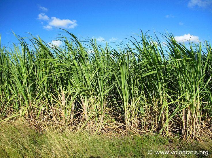 sugar cane plantations in #Mauritius #travels #nature #viaggi #viaggiare
