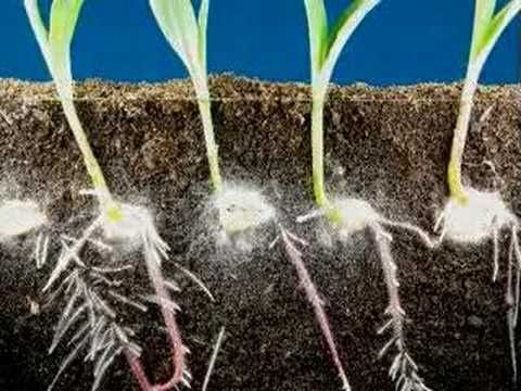 Time lapse fast growing corn, roots and leaves growing - YouTube