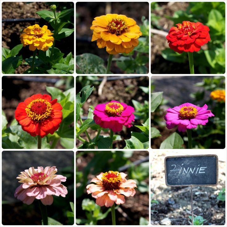 Che giugno sarebbe senza Zinnie? Mettiamo un po' di colori nei nostri giardini!
