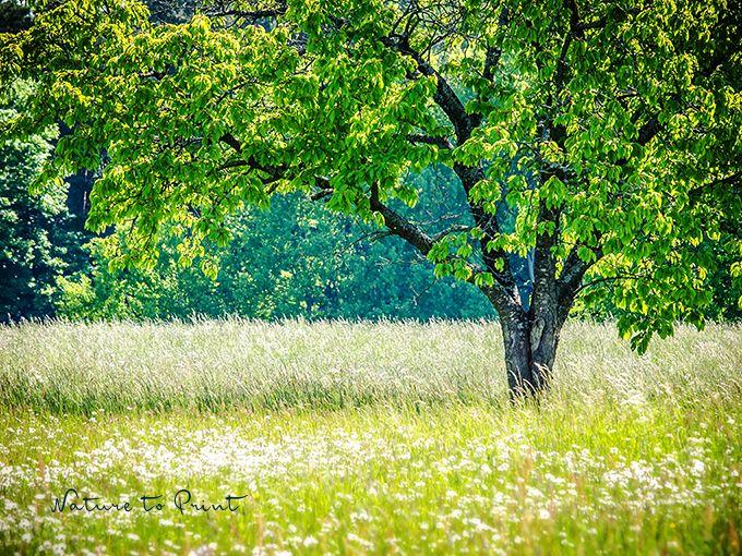 Mein Freund Der Kirschbaum Ist Tot Kirschbaum Baum Und Kirschen