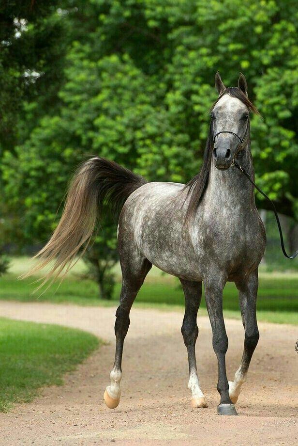 97 besten araber pferde bilder auf pinterest sch ne. Black Bedroom Furniture Sets. Home Design Ideas