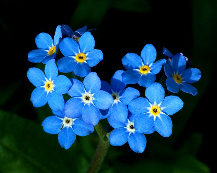 Naturally Blue Flowers Google Search