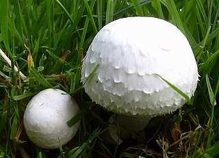 agaric champêtre, champignon des prés, 5 à 12cm, lames rose puis brun, petit anneau membraneux
