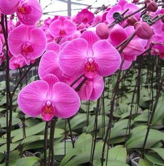 Deluxe Purple Butterfly Orchid  #OrchidFlower