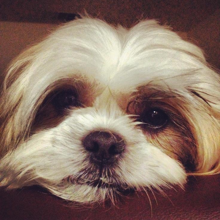 My sweet Shih Tzu Max! He melts my heart! So cute!