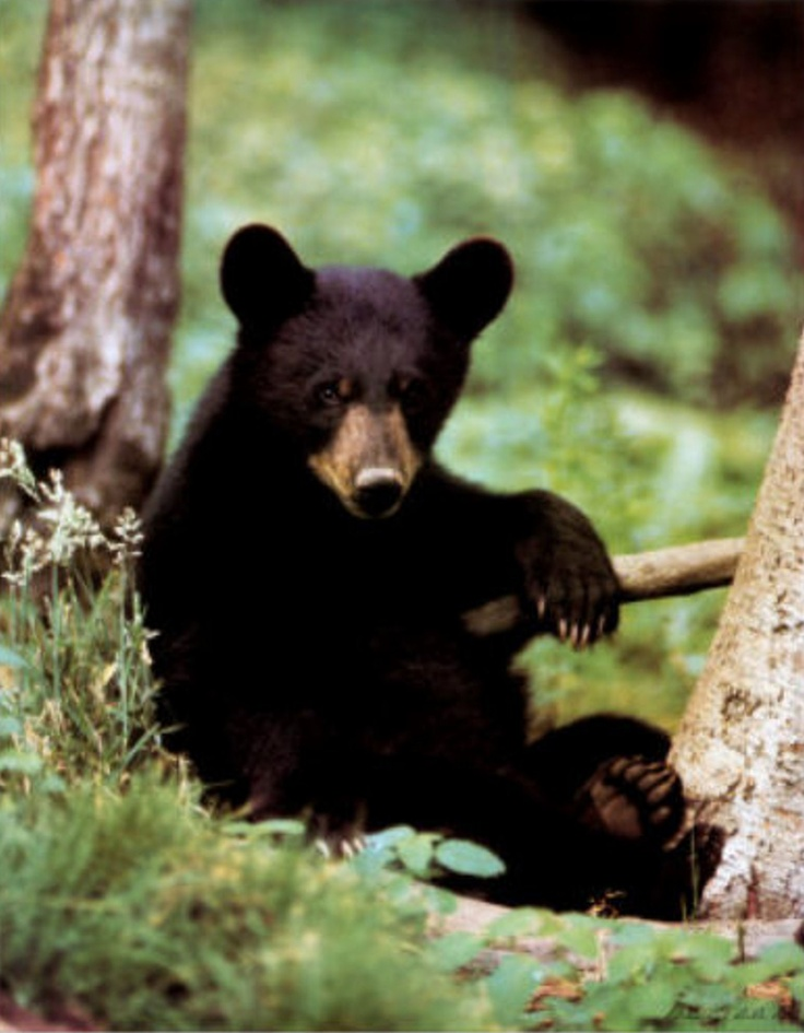 Pictures of bears baby