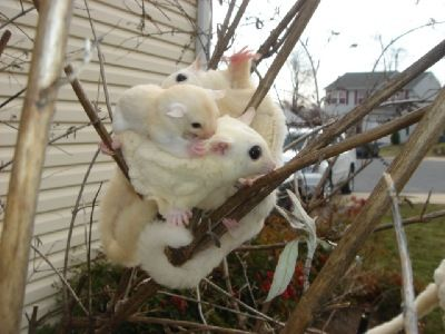 leucistic and mosaic sugar gliders | supply a proper diet for health gliders one more thing