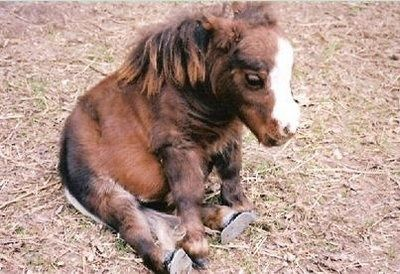 So adorable. Thumbelina the World's Tiniest Horse! @Angela Lambert - I'm sorry - what???!!!