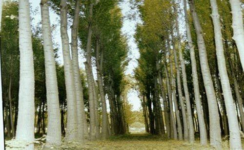 Kavak ağacı yetiştiriciliği, son dönemlerin en çok kazandıran yöntemidir. Toprağın kokusuyla stres atarken para kazanmak istemez misiniz?
