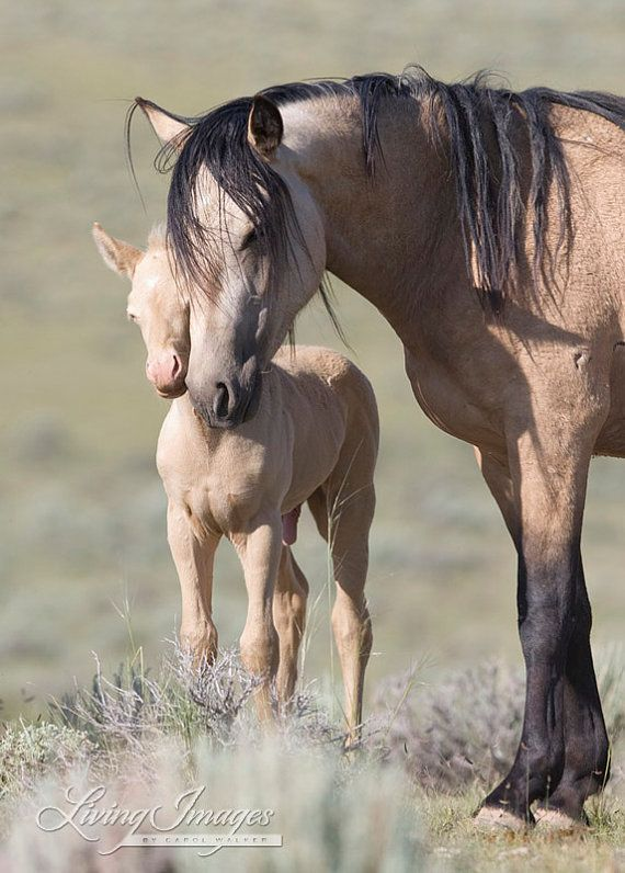 A wild buckskin mare and her young cremello colt are nose to nose close together as she reassures him on a summer's day in the McCullough Peaks Herd Area of Wyoming.