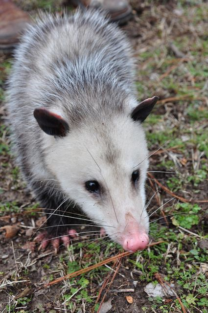 Possum by Jan and Billy Pics Opossums are masters at destroying ticks. This is because they are very fastidious animals, constantly grooming themselves and removing (and eating) parasites like ticks. One opossum can take out around 5,000 ticks each year. That alone makes them worth having around!  Read more: http://www.care2.com/greenliving/10-reasons-to-love-opossums.html#ixzz3GQOj0ElP