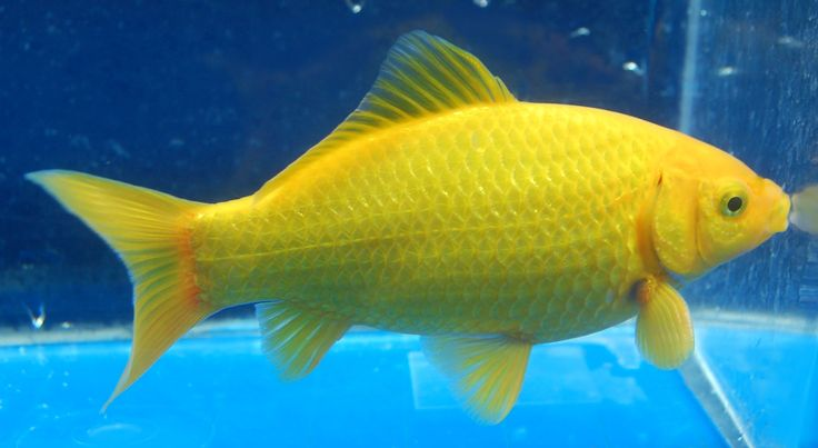 100 Ideas To Try About Gathering Of Goldfish Goldfish Aquarium And Auction