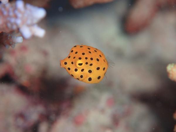 黒のドットがキュートなハコフグ/沖縄・宮古島ダイビングサービス Fish a go go !|あそびゅー!スキューバダイビング