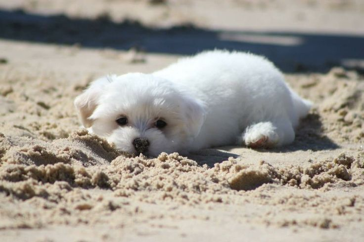 Buy & Sell MALTESE puppies online  https://www.dogspuppiesforsale.com/maltese
