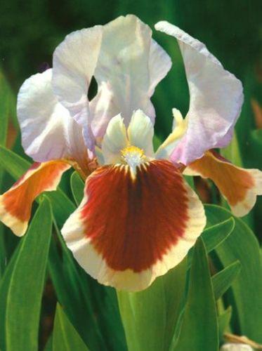 Iris 'Pumila Red Heart'