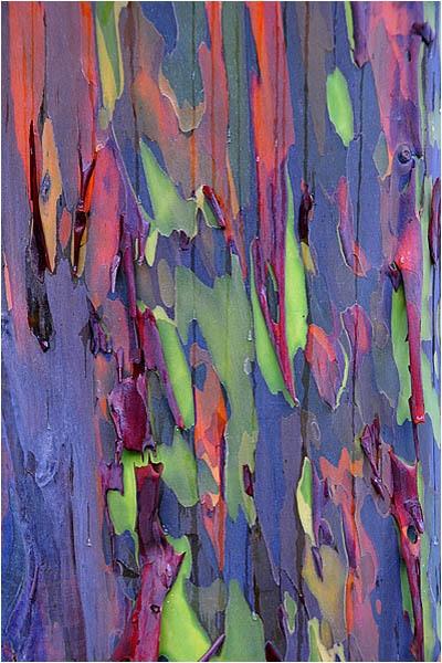 Arbre eucalyptus Arc En Ciel