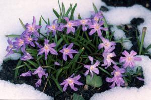 A plantar desde principios de la primavera: Gloria de las nieves o Chionodoxa luciliae
