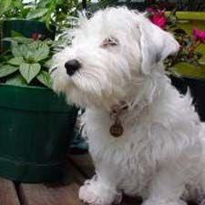Sealyham Terrier...so precious