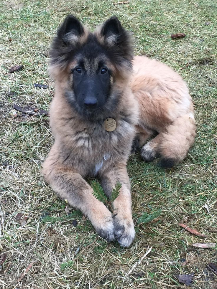 Belgisk hyrdehund Keyla