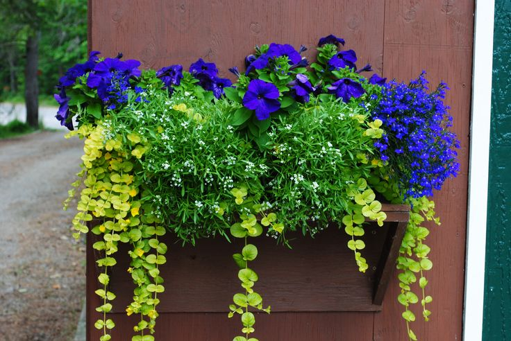 My new favourite colour combination...verbena and wave petunias in purple/blue, allysum in white and creeping jenny in lime green.