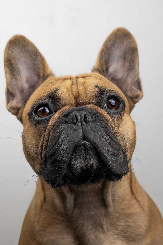 Bulldog Dogsofinstagram Dog Frenchie Dogs Bulldogsofinstagram Frenchbulldog Puppy Englishbulldog Bully Dogs Bulldog Small Pets