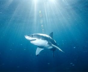 Fotos de pesca submarina - DeportesX: Great White Sharks, Sun Ray, Sharks Underwater, Sharks Desktop, Fishing, Sharks Attack, Sharks Pictures, Greatwhitesharkjpg 1024768, Sharks Photos