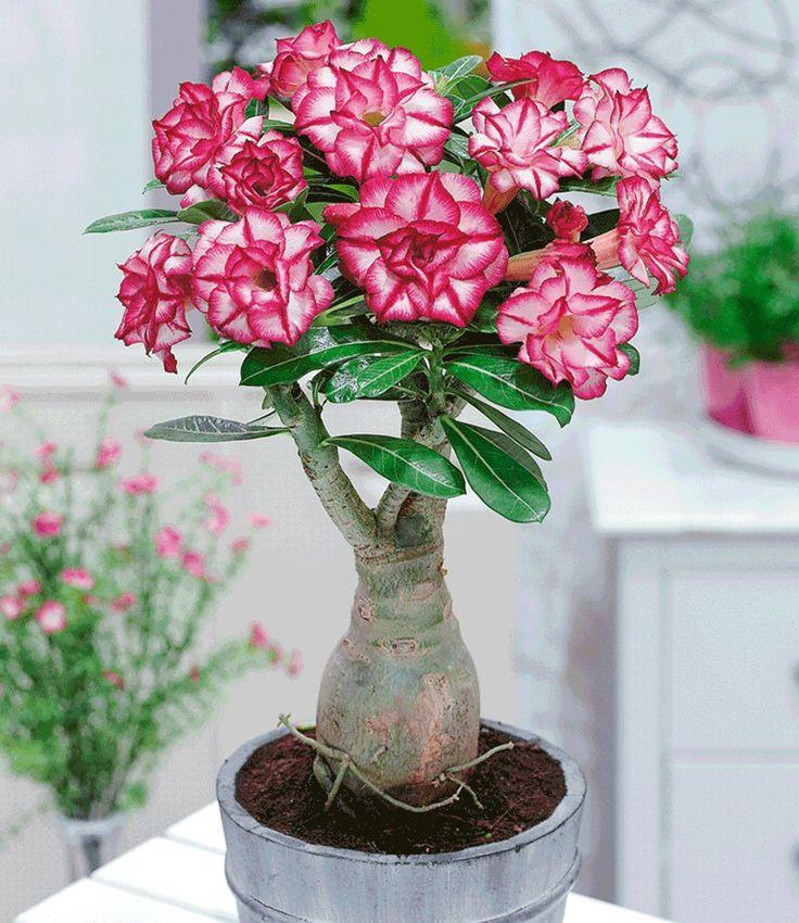 Wüstenrose gefüllt 'Picotée',1 Pflanze jetzt günstig in Ihrem MEIN SCHÖNER GARTEN - Gartencenter schnell und bequem online bestellen.