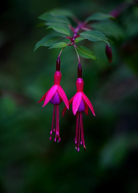 <3 #fuchsia.    So pretty!  Used to give to my Grandma every mothers day!  Xoxo