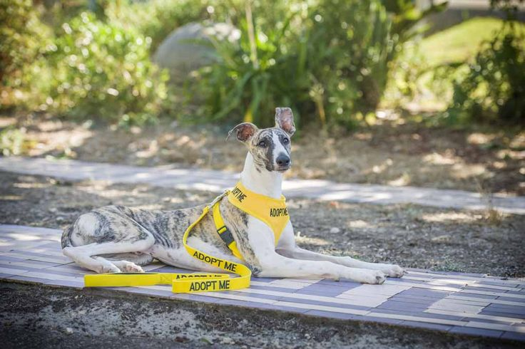 The ADOPT ME range bright yellow harness and leads inform the public that a rescue dog is looking for a forever home | Model: Whippet