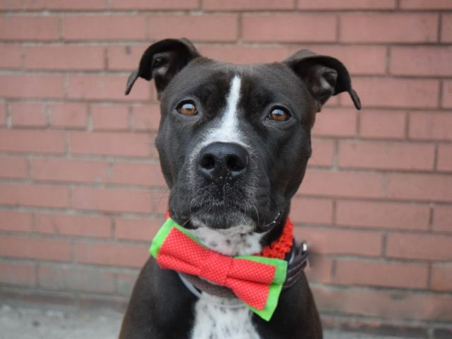 SIRI - 13078 - - Brooklyn  TO BE DESTROYED 12/05/17  A staff member writes: Just like the Iphone, Siri knows everything. She knows when you want a kiss, or when you just want to relax. This girl was afraid when she first arrived, but slowly warmed up to our affections. She enjoys the company of both big and small dog. She needs a little encouragement, but she will eventually warm your heart. Come down to Brooklyn Care Center and meet your new family member. -  Click for i