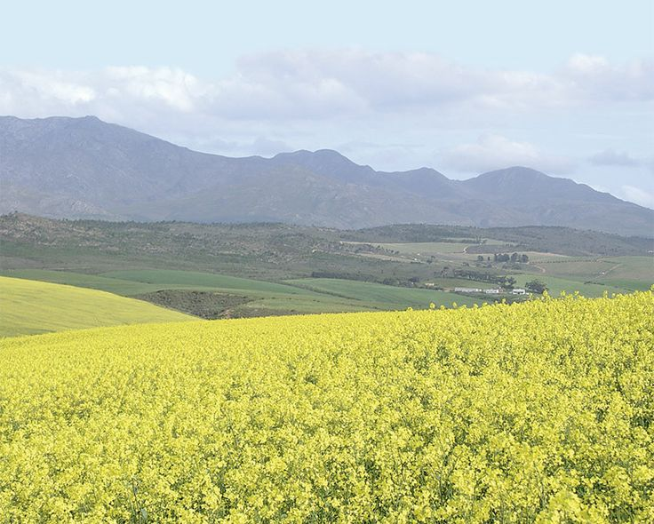 In South Africa, canola crop is a winter crop, and is grown in the Western Cape.