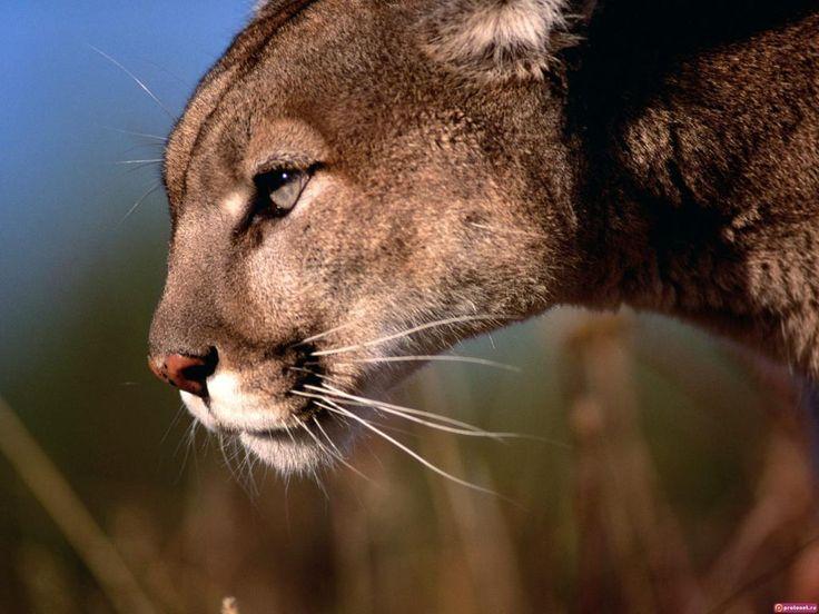 Grandes felinos - Papeis de Parede Gratuito: http://wallpapic-br.com/animais/grandes-felinos/wallpaper-32092
