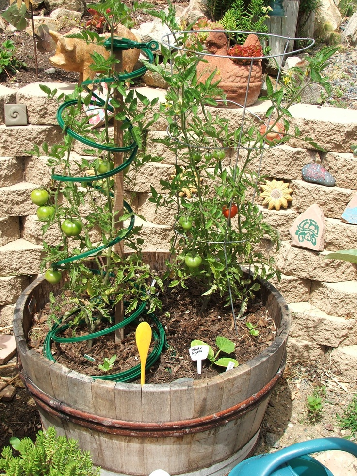 Early Girl Tomato Plant In A Wine Barrel Garden