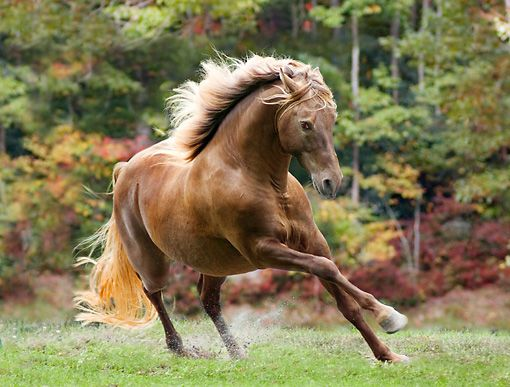 Silver Dapple Rocky Mountain Horse Cantering In Pasture - Photographer: Mark J. Barrett