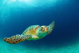 10 Fun Facts About Sea Turtles: Sea turtles are reptiles.
