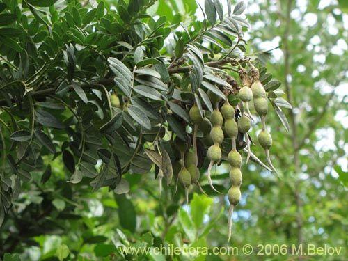 Imágen de Sophora macrocarpa (Mayo). Haga un clic para aumentar parte de imágen.
